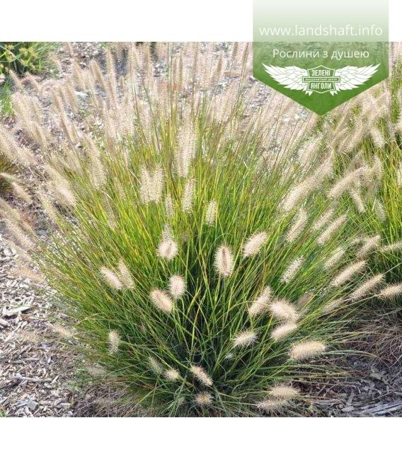 Pennisetum setaceum 'Dwarf Rubrum' Пеннісетум щетинистий карликовий