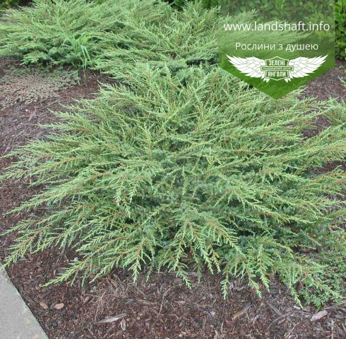 Juniperus Communis 'Green Carpet', Ялівець звичайний 'Грін