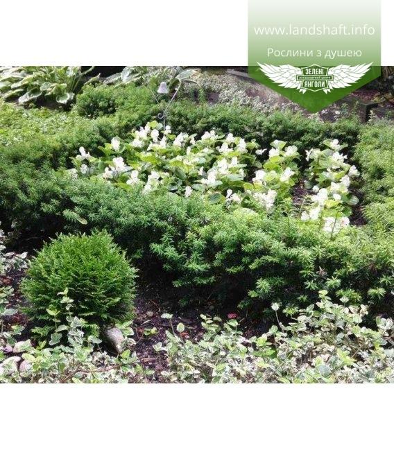 Taxus x media 'Selektion Kordes', Тис средний 'Селектион Кордс'