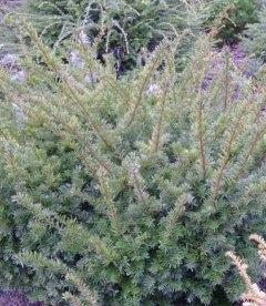 Taxus cuspidata 'Rustique', Тис японський 'Рустік'