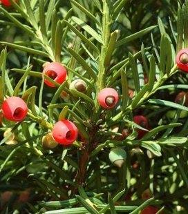Taxus baccata, Тис ягодный