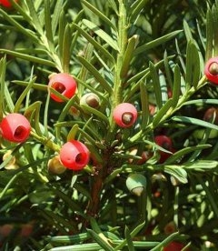 Taxus baccata, Тис ягідний