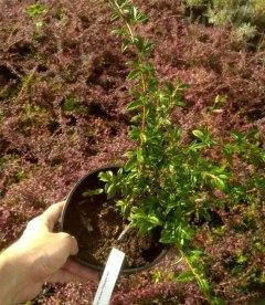 Cotoneaster salicifolius 'Parkteppich' Кизильник иволистный