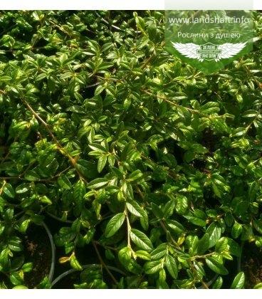 Cotoneaster salicifolius 'Parkteppich', Кизильник верболистий 'Парктеппіх'
