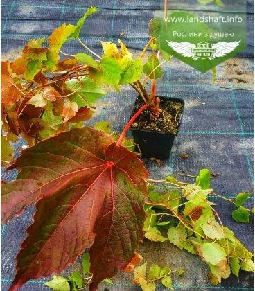 Parthenocissus tricuspidata 'Veitchii', Дівочий виноград тризагострений Віча