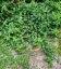 Euonymus fortunei 'Minimus', Бересклет Форчуна 'Минимус'