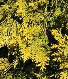 Thuja occidentalis 'Europe Gold', Туя западная 'Юроп Голд'