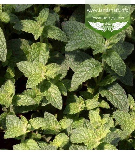 Mentha spicata 'Almira', Мята клубничная