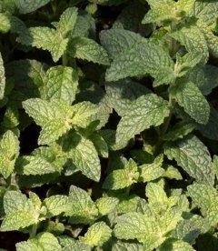 Mentha spicata 'Almira', М'ята полунична