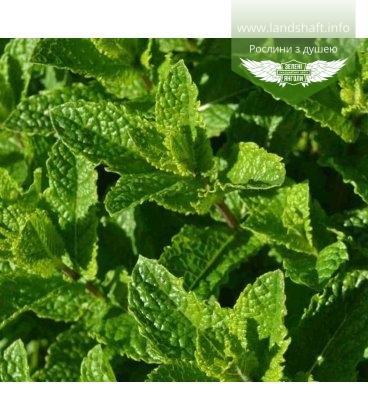 Mentha spicata 'Moroccan', М'ята колосиста 'Марокко'