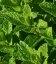 Mentha spicata 'Moroccan', Мята колосистая 'Марокко'