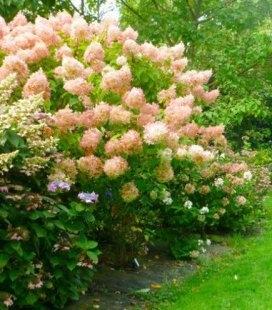 Hydrangea paniculata 'Phantom', Гортензия метельчастая 'Фантом'