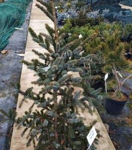 Picea bicolor, Ель двухцветная