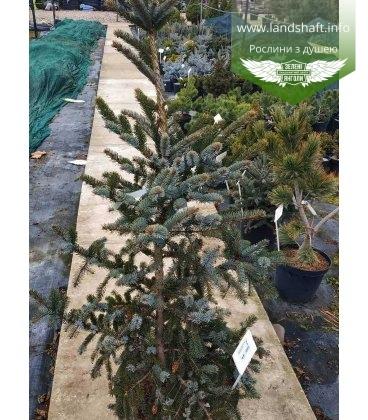 Picea bicolor, Ялина двоколірна