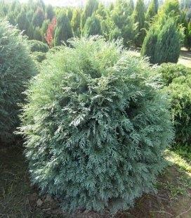 Chamaecyparis lawsoniana 'Silver Globus', Кипарисовик Лавсона 'Силвер Глобус'
