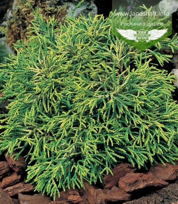 Chamaecyparis obtusa 'Tsatsumi', Кипарисовик туполистий 'Цацумі'