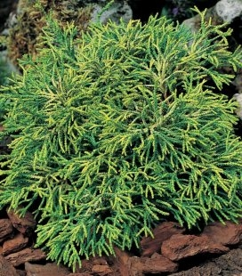 Chamaecyparis obtusa 'Tsatsumi', Кипарисовик туполистный 'Цацуми'