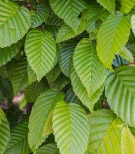 Carpinus betulus, Граб европейский
