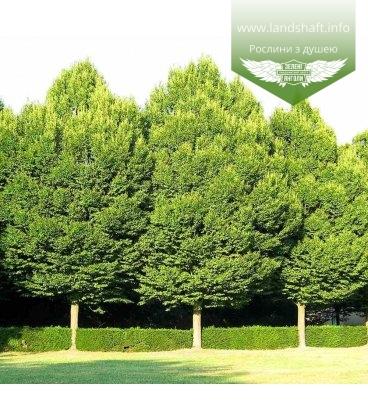 Carpinus betulus, Граб європейський