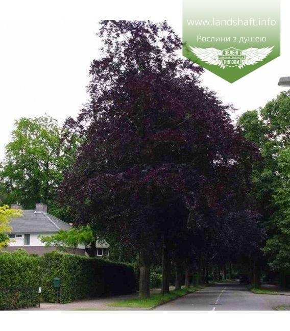 Fagus sylvatica 'Atropunicea', Бук європейський 'Атропуніцеа'