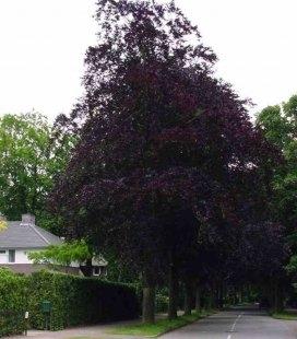 Fagus sylvatica 'Atropunicea', Бук европейский 'Атропуницеа'