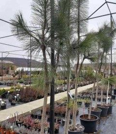 Pinus ponderosa 'Pendula', Сосна желтая 'Пендула'