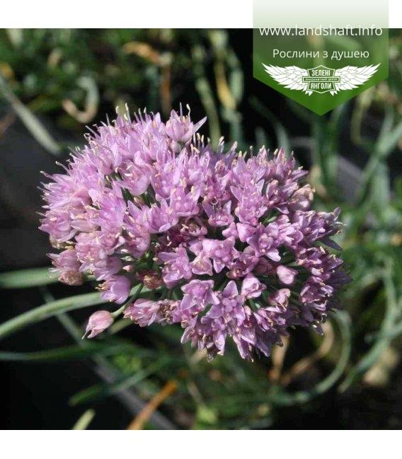 Allium montanum ssp. spiralis, Цибуля гірська спіралевидна