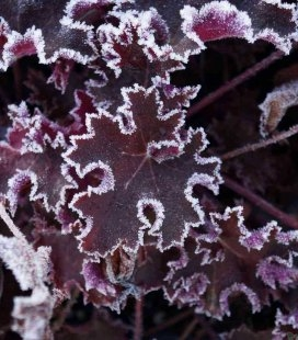 Heuchera 'Purple Petticoats', Гейхера 'Пьорпл Петікотс'