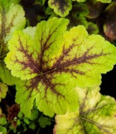 Heucherella 'Gold Zebra', Гейхерела 'Голд Зебра'