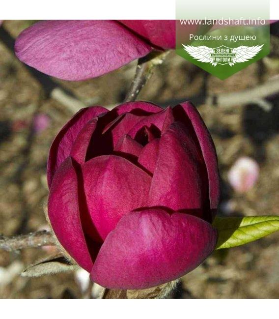 Magnolia x soulangeana 'Black Tulip', Магнолія Суланжа 'Блек Туліп'