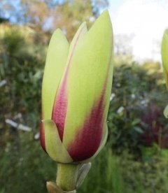 Magnolia hybrida 'Green Diamond', Магнолія 'Грін Даймонд'