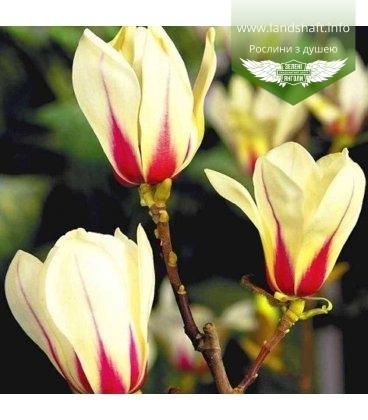 Magnolia hybrida 'Green Diamond', Магнолия 'Грин Даймонд'