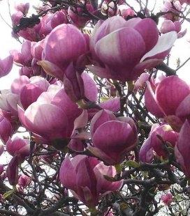 Magnolia x soulangeana 'Rustica Rubra', Магнолия Суланжа 'Рустика Рубра'