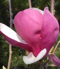 Magnolia x soulangeana 'Rustica Rubra', Магнолія Суланжа 'Рустіка Рубра'