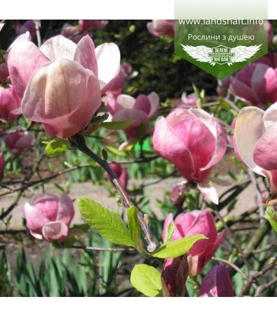 Magnolia x soulangeana 'Lennei', Магнолія Суланжа 'Ленней'
