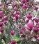 Magnolia x soulangeana 'Lennei', Магнолия Суланжа 'Ленней'