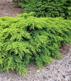 Juniperus x media 'Gold Coast', Можжевельник средний 'Голд Кост'