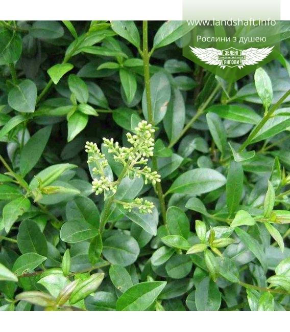 Ligustrum vulgare 'Atrovirens', Бюрючина звичайна 'Атровіренс'