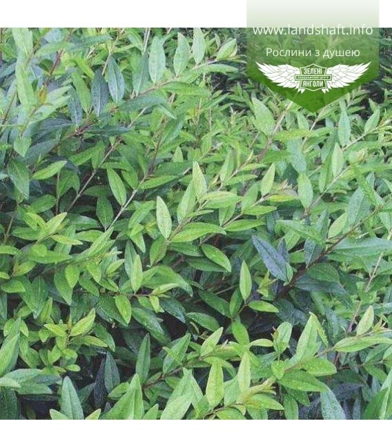 Ligustrum vulgare 'Atrovirens', Бирючина обыкновенная 'Атровиренс'