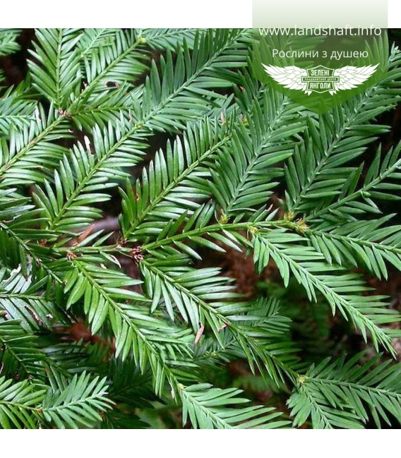 Sequoia sempervirens, Секвойя вічнозелена