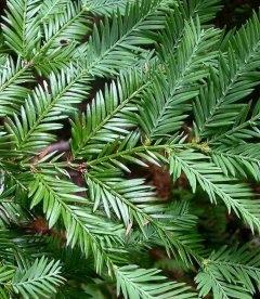 Sequoia sempervirens, Секвойя вечнозеленая