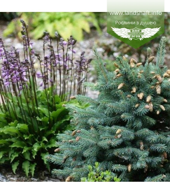 Picea pungens 'Hermann Naue', Ялина блакитна 'Герман Науе'