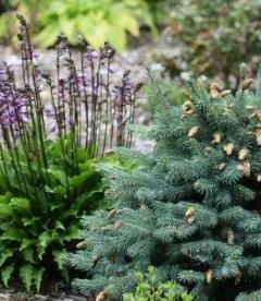 Picea pungens 'Hermann Naue', Ель голубая 'Германн Науе'