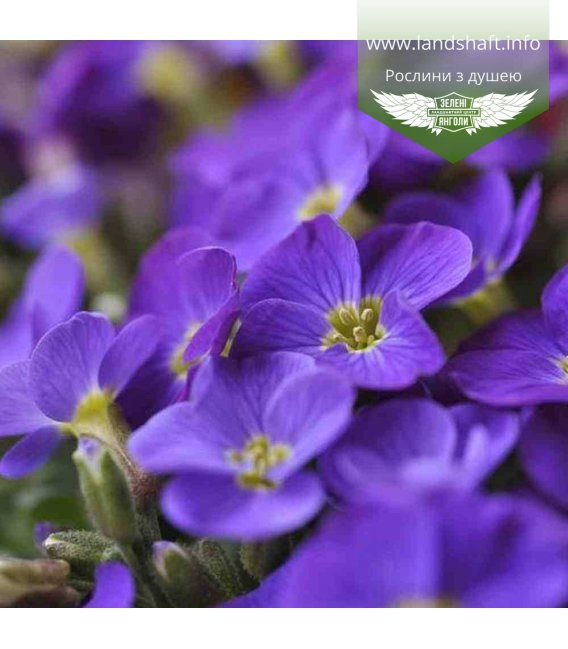 Aubrieta hybrida 'Dublette Blue', Обрієта гібридна 'Дублет Блу'