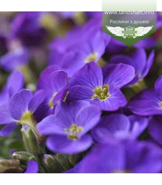 Aubrieta hybrida 'Dublette Blue', Обриетта гибридная 'Дублетт Блу'