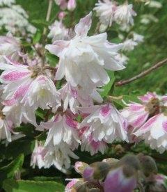 Дейция шершавая 'Кодсал Пінк' махровые розовые цветы