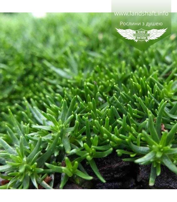 Sagina subulata 'Green Moss', Мшанка шилолистная 'Грин Мосс'