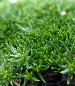 Sagina subulata 'Green Moss', Мшанка шиловидна 'Грін Мосс'