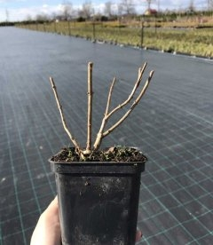 Hydrangea macrophyla Гортензия крупнолистная зимой