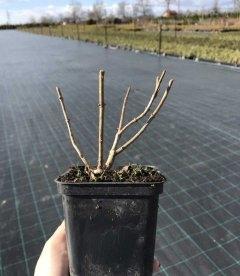 Hydrangea arborescens 'Annabelle', Гортензія деревовидна 'Анабель' вигляд взимку